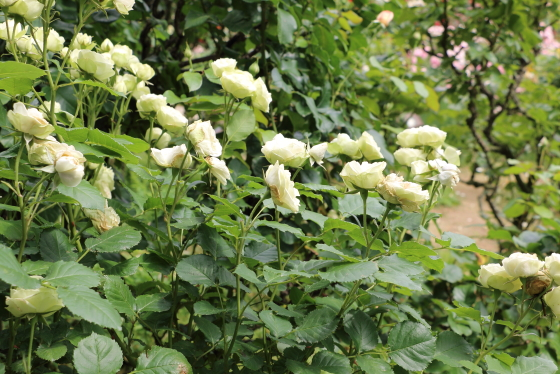 クリーミーエデンはコンパクトな樹形で鉢栽培にも適する
