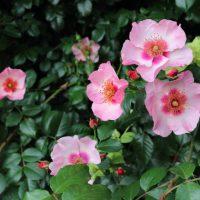 ピンク色の花弁に弁芯にブリッチが入る