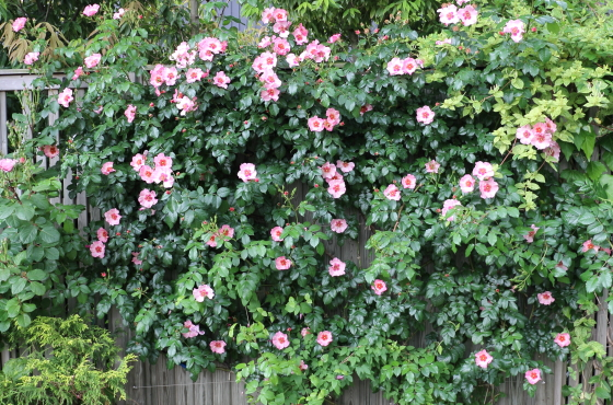 アイズオンミーは樹勢が強く育てやすいバラ