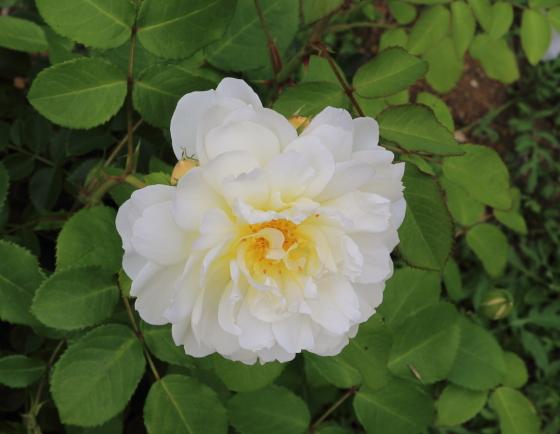 イモージェンはシュラブ系統のバラ