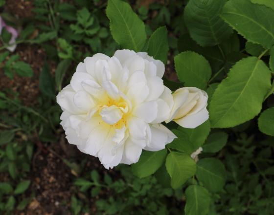 先端の尖ったツボミが開くとロゼット咲きになる