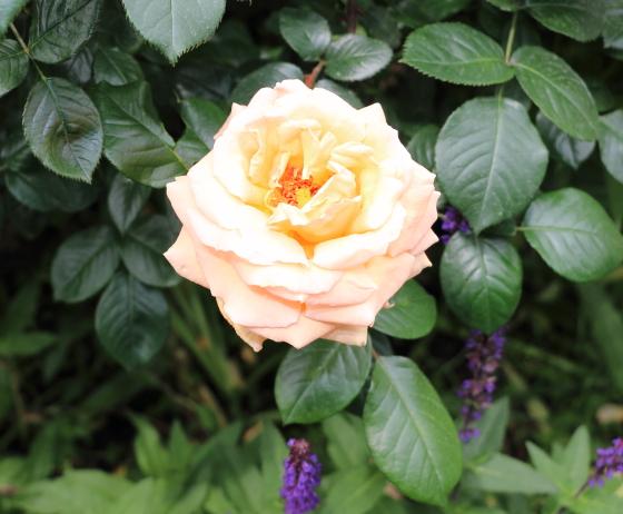 耀くようなオレンジ色の剣弁高芯咲きのバラ