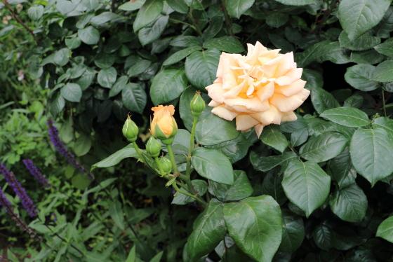 数輪の房咲きになって開花します