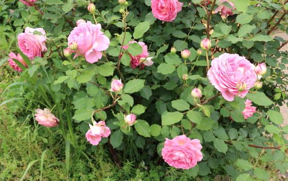 四季咲き性で春から秋まで咲きます