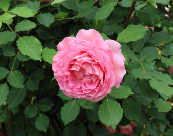 ジュビリーセレブレーションはサーモンピンク色のカップ咲きになる