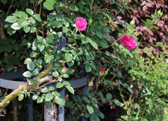 オーバーナイトセンセーションはミニチュア系統のバラ