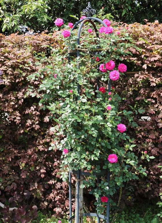 紫色を帯びたローズ色の花色のバラ