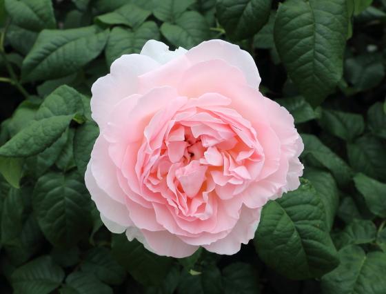 シャリファアスマはシュラブ系統のバラ