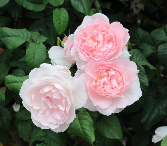花つきはよいが、花もちはよくない品種です