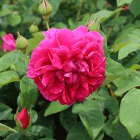 ザダークレディは四季咲き性の大輪花
