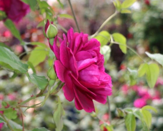 アンダー ザ ローズは濃い赤紫色のロゼット咲き