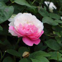 ウィンチェスターキャシードラルは四季~繰り返し咲きです