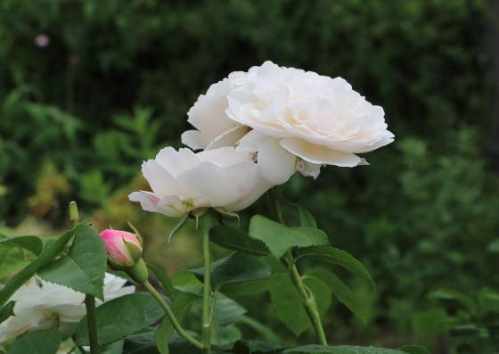 白色だがたまにピンク色が入ることもある