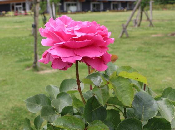 花弁の端か波打つったようになるシャクヤク咲きのバラ