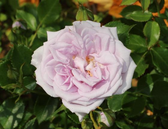 剣弁高芯咲きの小輪花
