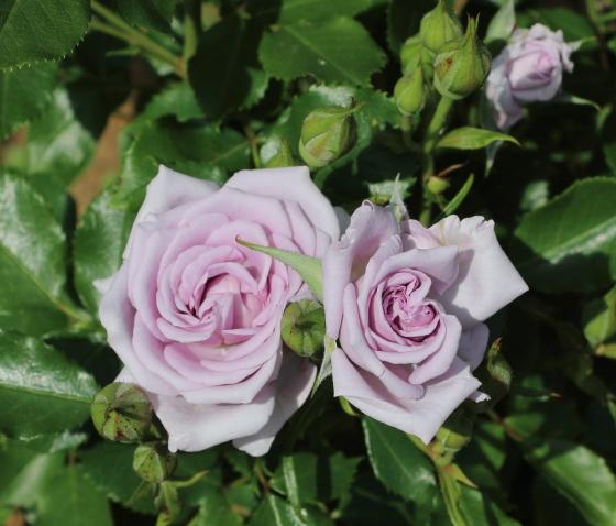 薔薇の海は半直立性で樹高は70cm