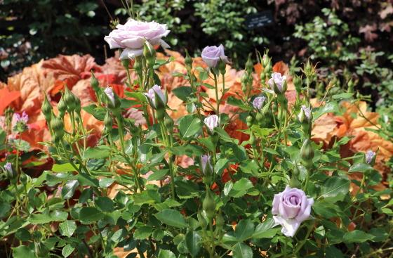 薔薇の海はラヴェンダー系の淡い紫色