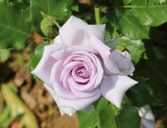 薔薇の海はミニチュア系統のバラ