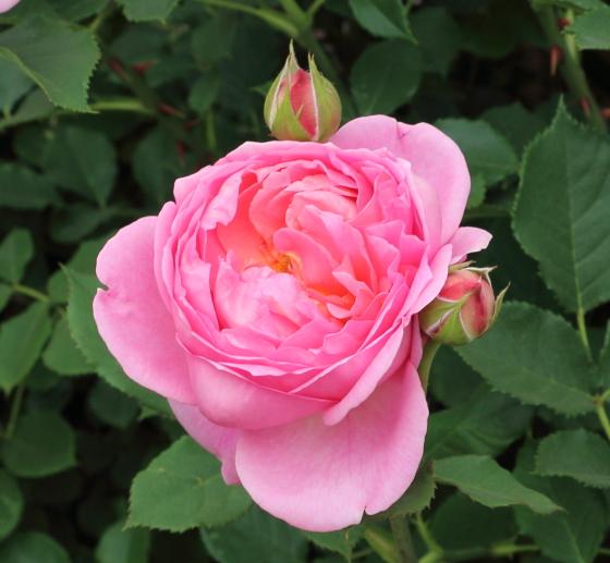ボスコベルは四季咲き性