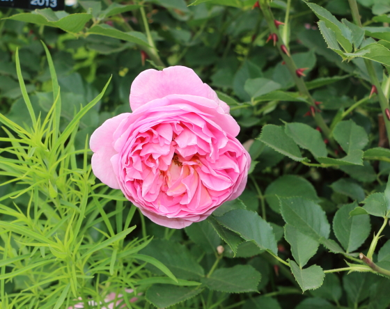 ボスコベルはロゼット咲きの花形