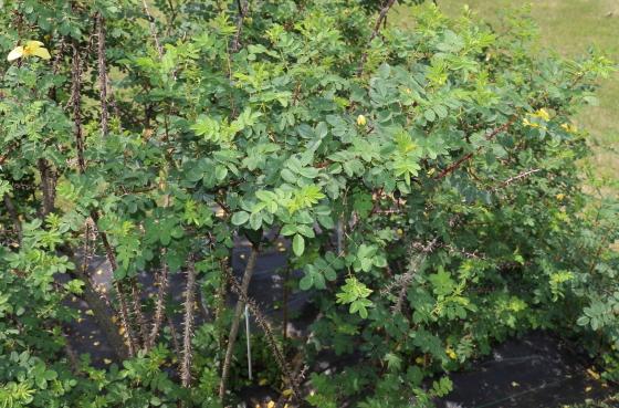 カナリーバードは一重咲きの黄色いバラ