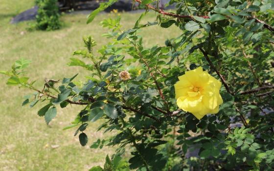 カナリー バードは原種のバラ
