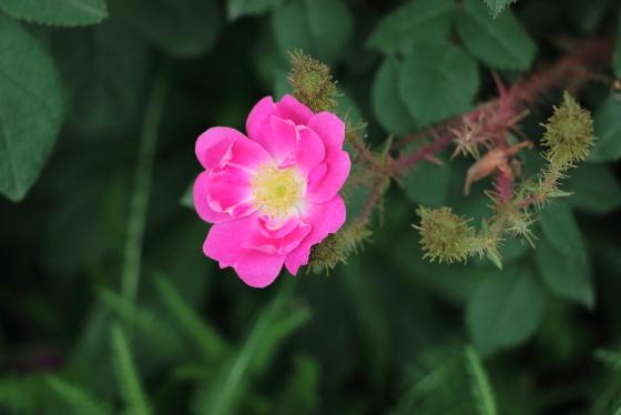 キャプテン ジョン イングラムは原種モス系統のバラ