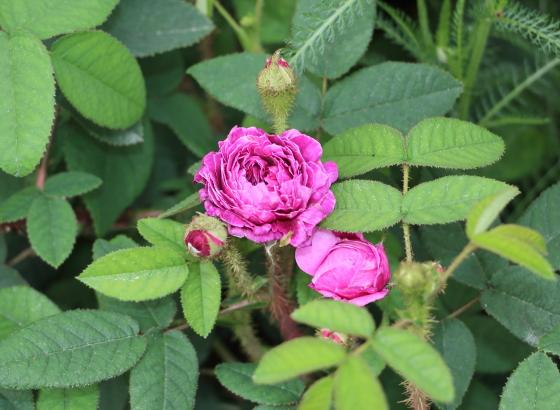 一季咲きで半自立性の原種バラ