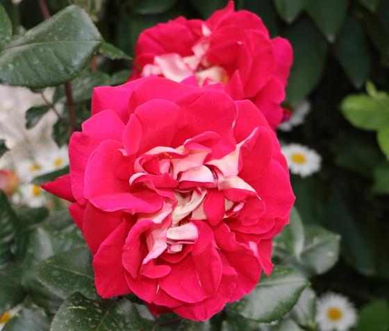 キャプリス ドゥ メイアンはHT系統のバラ