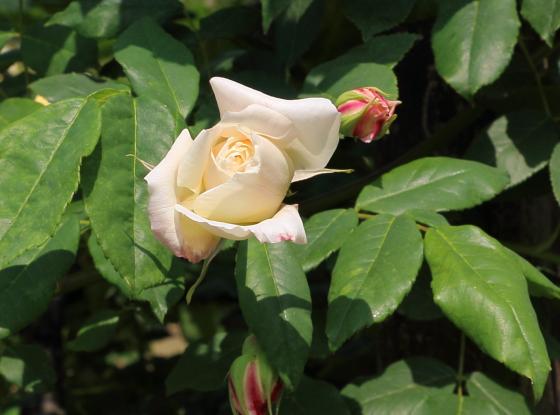 セリーヌフォレスティエはノワゼット系統のバラ