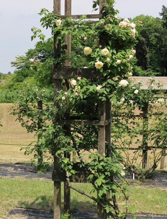 セリーヌフォレスティエはロゼット咲きの中輪花