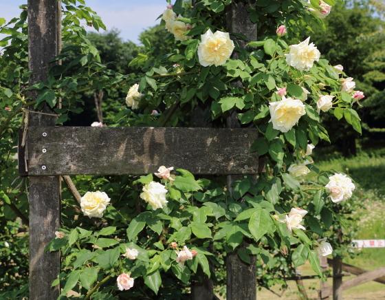 セリーヌフォレスティエは四季咲き性の強いバラ