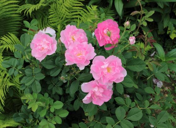 コーデリアは四季咲き性のイングリッシュローズ