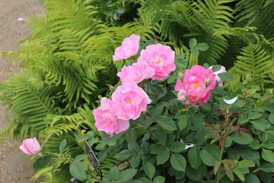 コーデリアはローズピンク色の半八重咲き