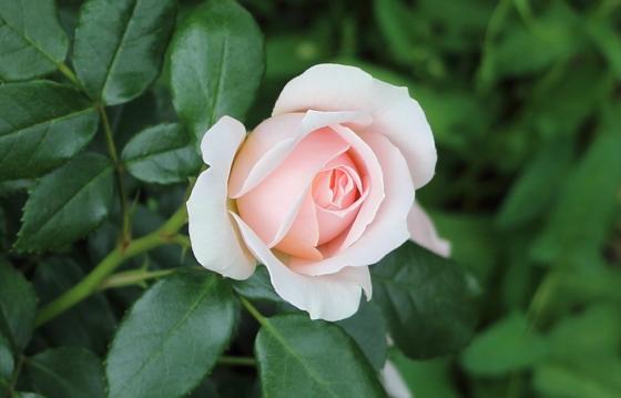 薫乃はダマスク香とティー系の芳香があります