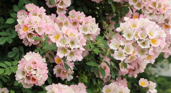 キューランブラーはランブラー系統のバラ