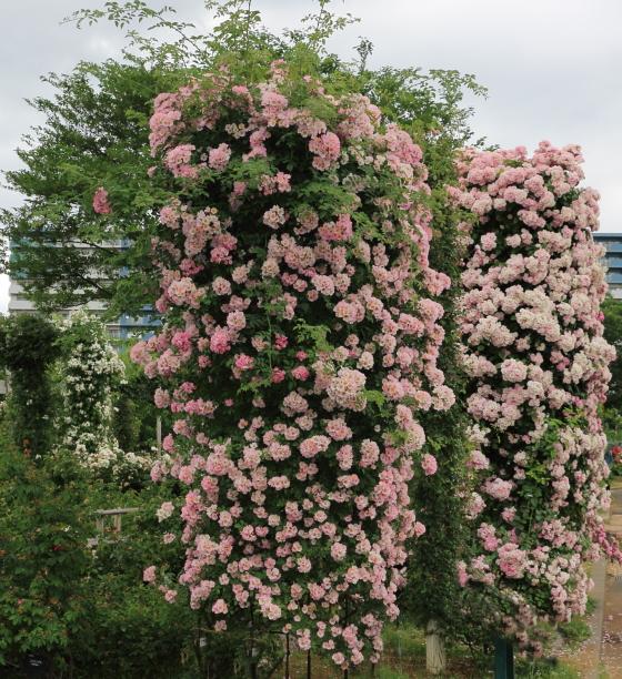 キュー植物園で作出されたバラ
