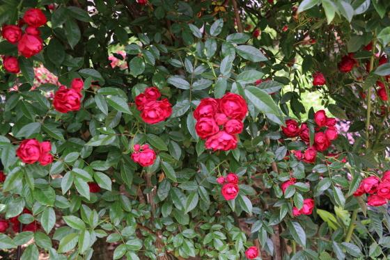 紅玉はつる性の樹形で3m以上に生育します