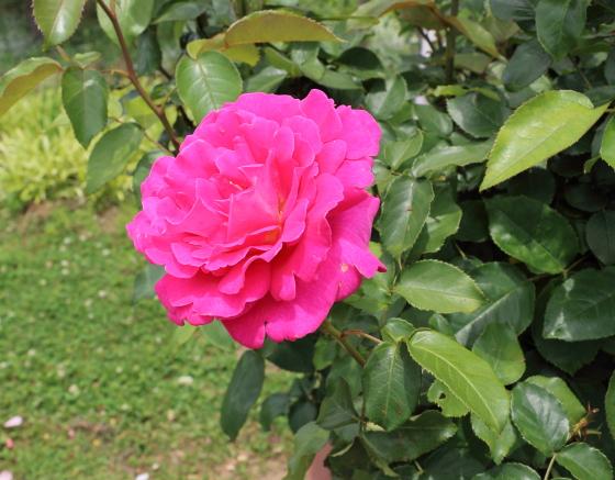 王妃アントワネットの咲き始めは丸弁の高芯咲き