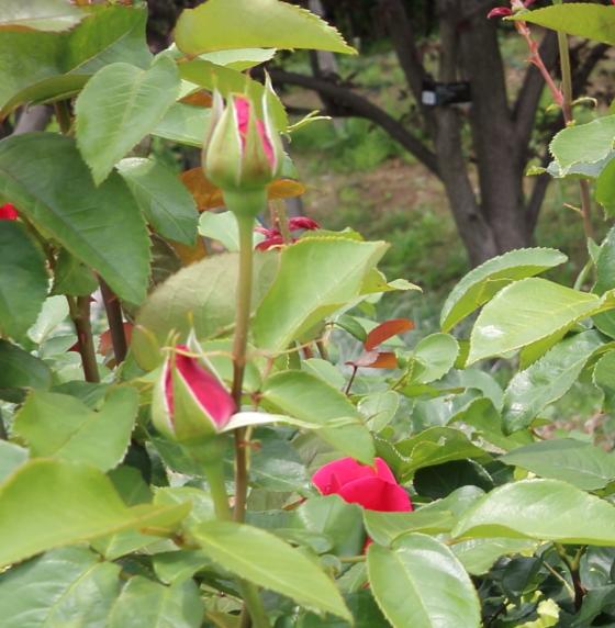 四季咲き性の大輪バラ