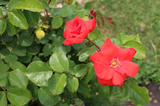ラ セビリアーナはフロリバンダ系統のバラ