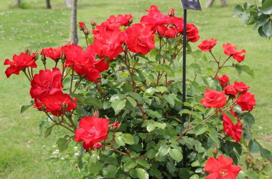 ラ セビリアーナは中輪咲きの花弁は7cm