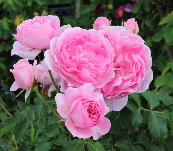 桃色のロゼット咲き