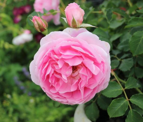 メイド マリオンはシュラブ系統のバラです