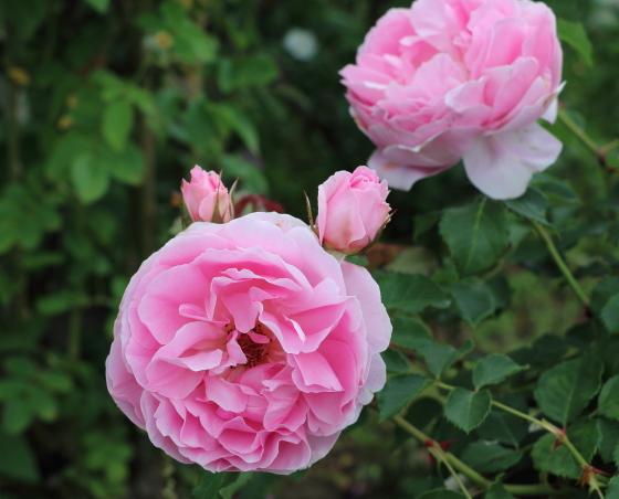 メイドマリオンは耐病性があり強健なバラ