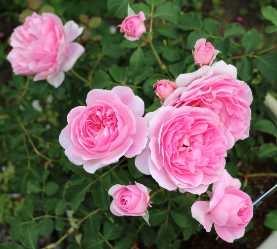 花つきがよい品種