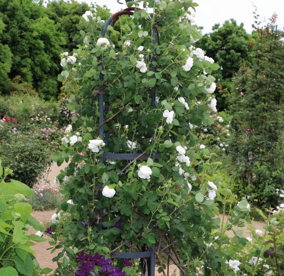 マダムアルディの樹高は200cmを越える半横張り性