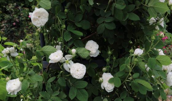 マダム アルディはダマスク系当のバラ