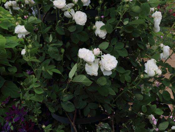 アイボリーホワイト色のロゼット咲き