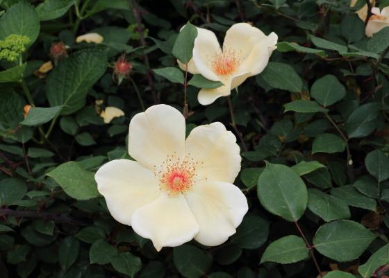 ミセス オークリーフィッシャーは一枝咲きの中輪花
